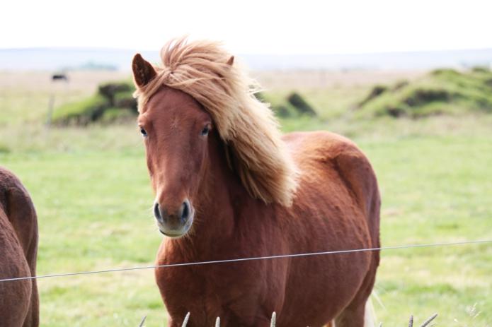 islandpferde-iceland-horse